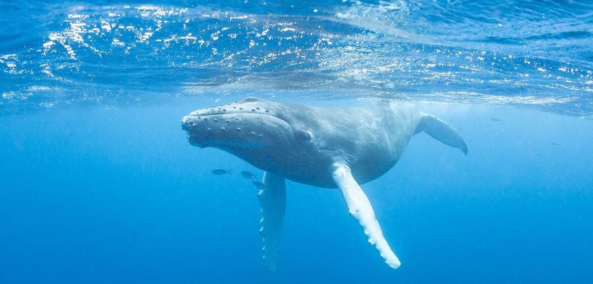 Massive declines in the populations of whales and other large mammals have disrupted the system of recycling important nutrients such as phosphorus.