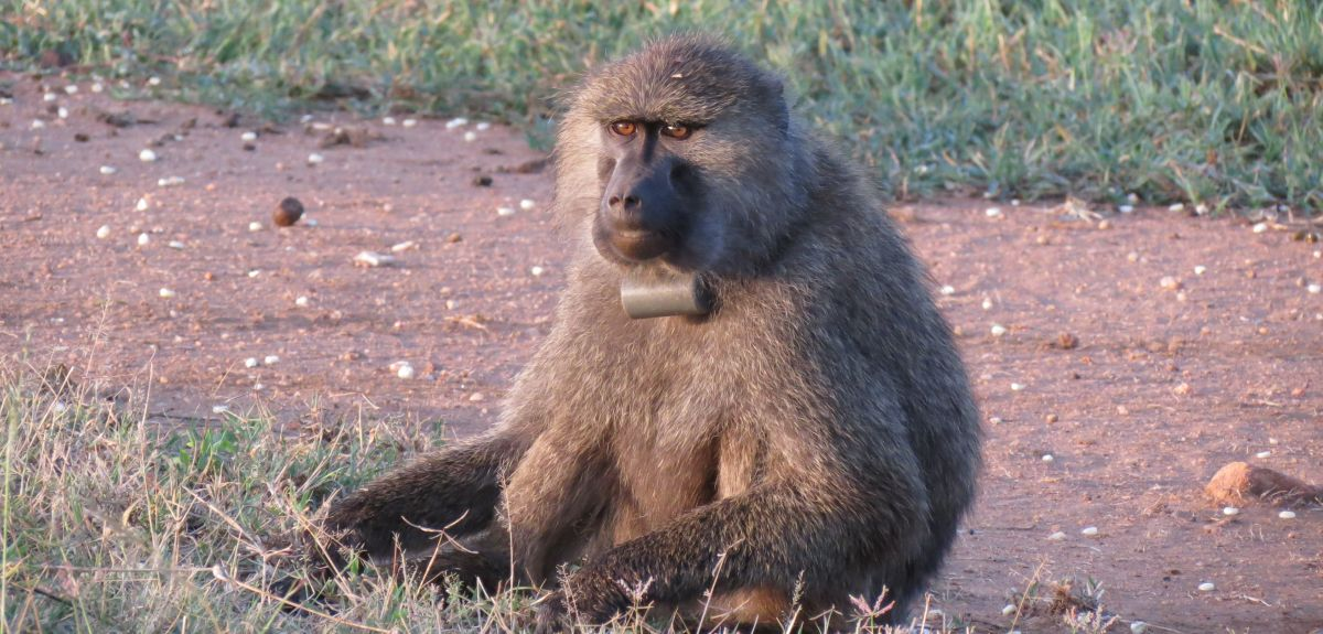 Olive baboon with GPS collar