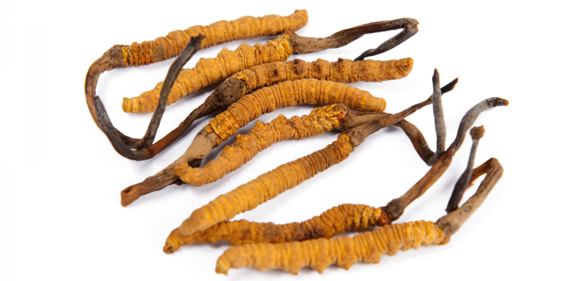 An image of the fungus Cordyceps sinensis. This fungus grows naturally on caterpillars at high altitudes in the Himalayas.
