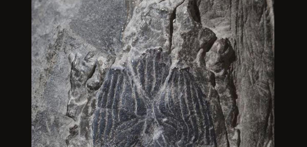 Janusiscus fish fossil