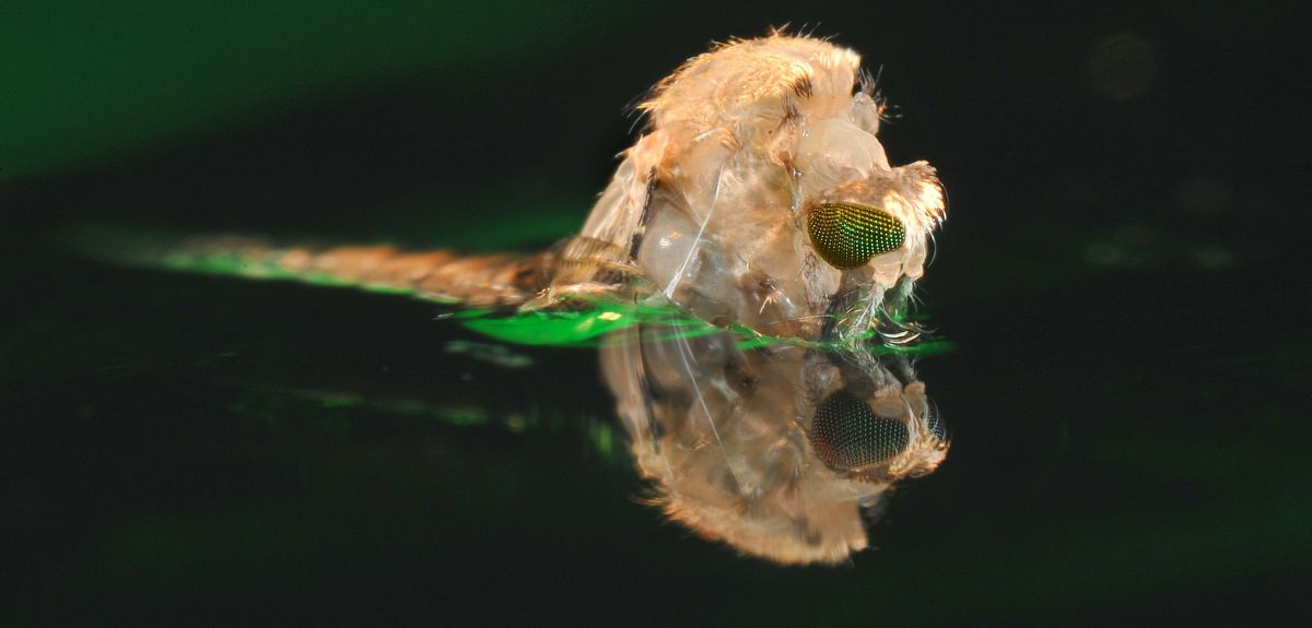 An anopheles mosquito emerges from its pupa