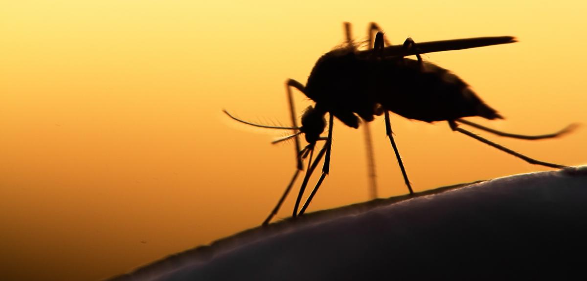 Photo | Mosquito