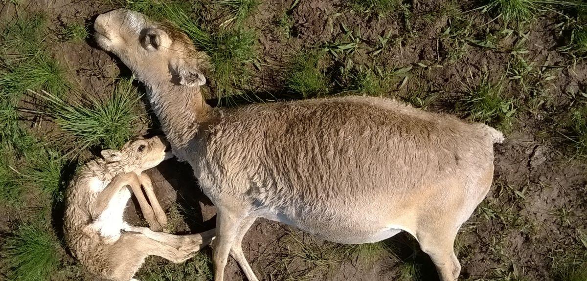 Saiga antelope mother and calf