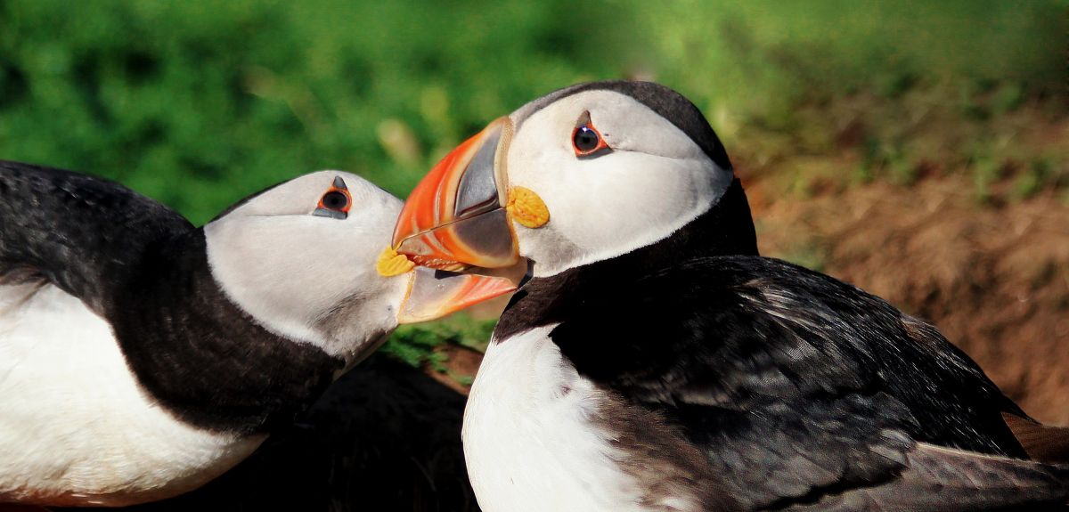 New Oxford University research shows that puffin pairs that follow similar migration routes breed more successfully the following season, a new Oxford University study has found.