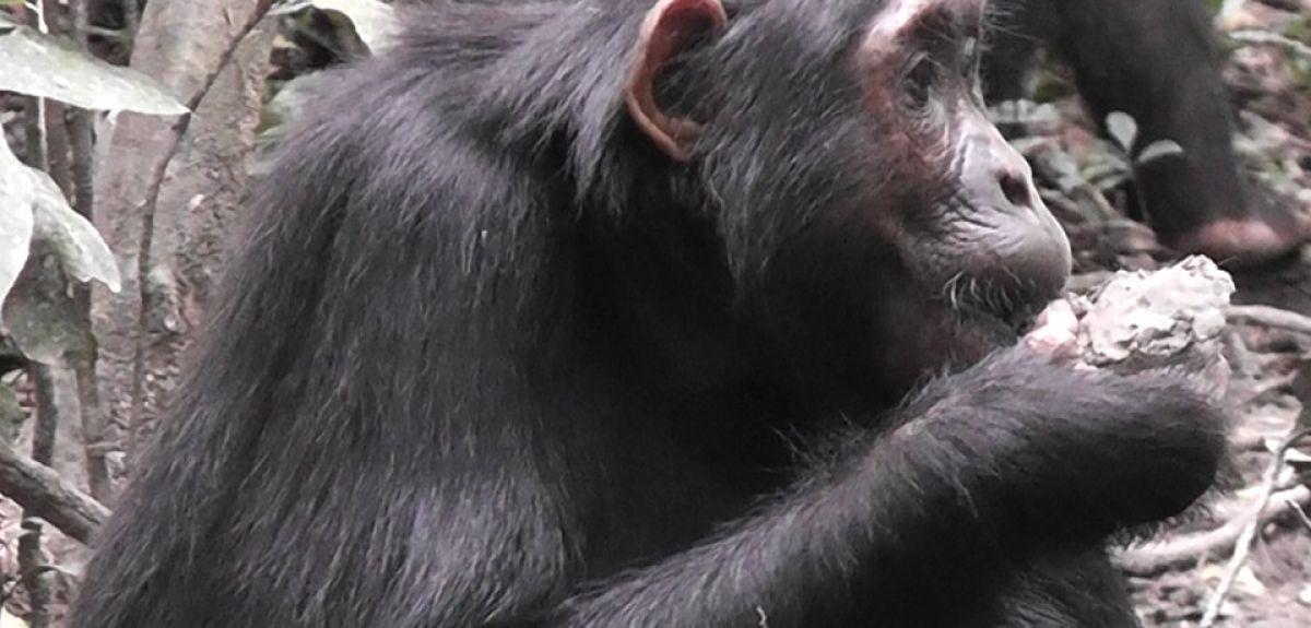 Researchers observed chimps in Budongo Forest, Uganda. Credit: Anne Schel.