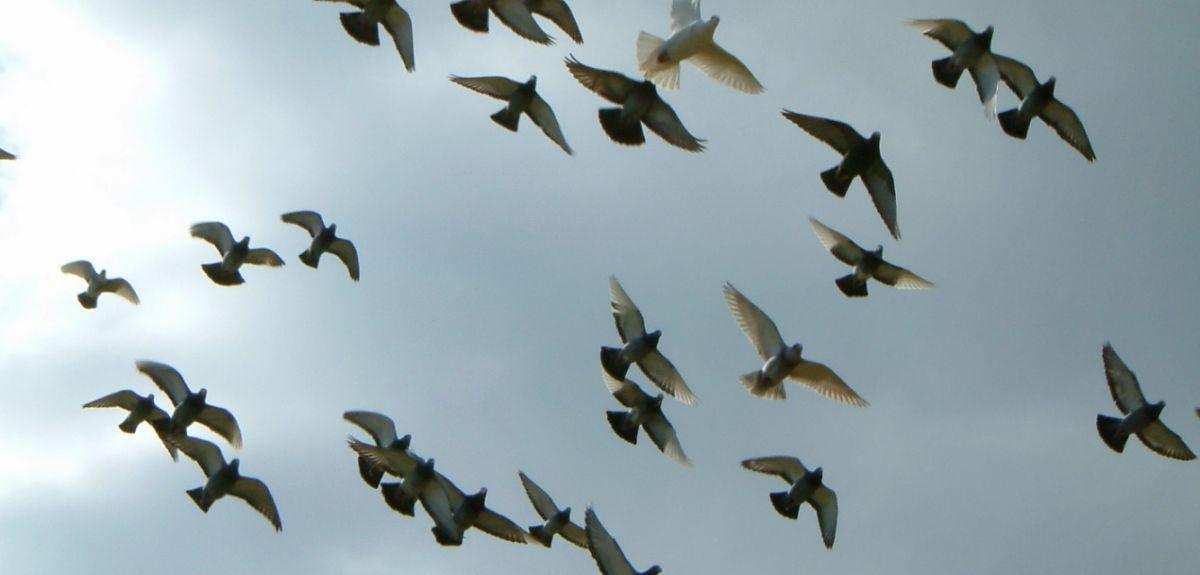 Pigeon leaders