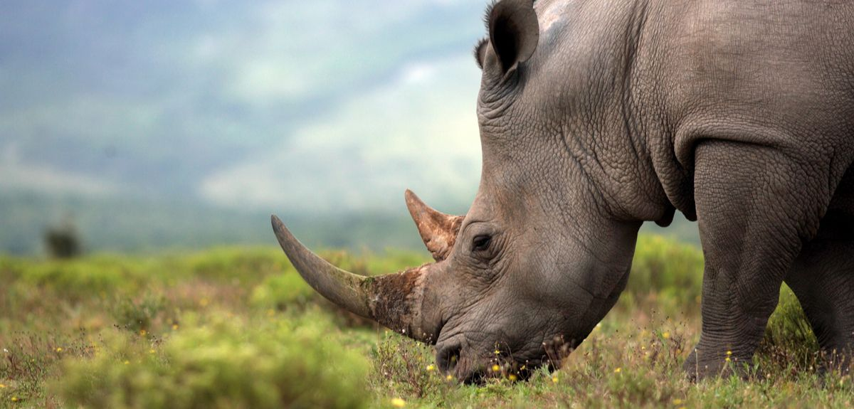 Creating fake rhino horn with horse hair to help save the endangered rhino
