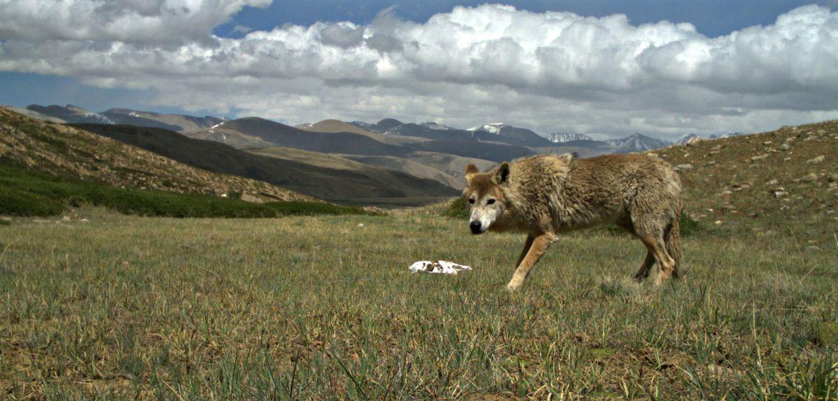 The Himalayan Wolf (Credit Geraldine Werhahn)