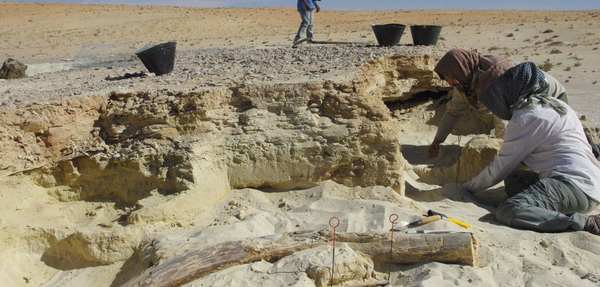 300,000 year old elephant tusk excavated in Saudi Arabian desert