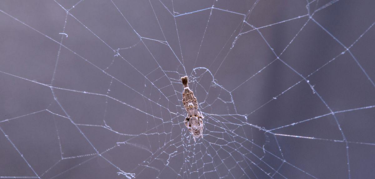 Uloborus plumipes in its web