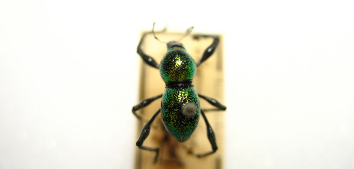 Weevil structural colour