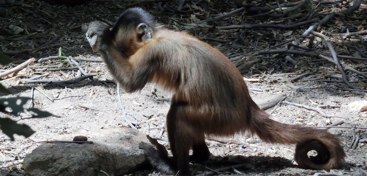 A capuchin using stone stool to crack a cashew nut in Serra da Capivara National Park in northeast Brazil.