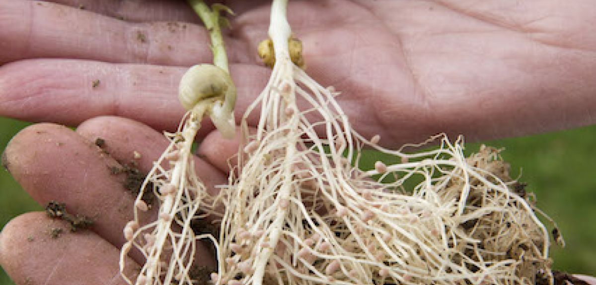 beans root