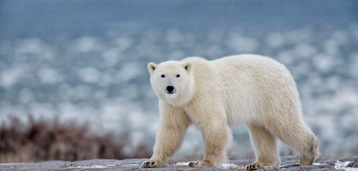 'Citizen scientists' help researchers gather new insights into polar bear behaviour