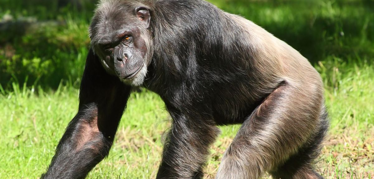 Chimpanzee mutations mostly come from fathers