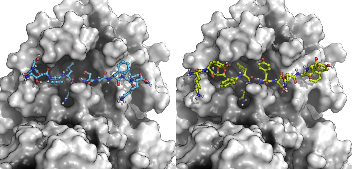 SARS-CoV-2 Mpro (our target, white surface) with a natural substrate peptide from the virus (in blue, left) just before it gets cut; and one of our designed peptide inhibitors (in yellow, right) blocking the Mpro from binding its natural substrates