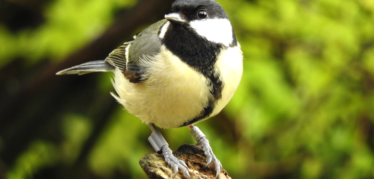 Great Tit with Radio-frequency identification (RFID)