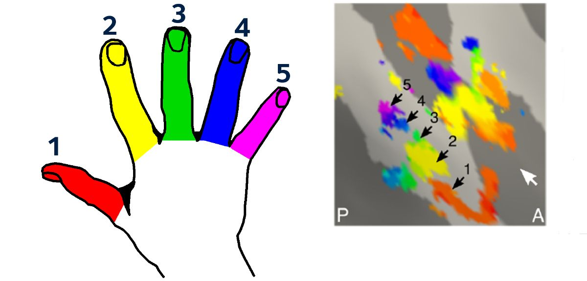 Representation of the left hand fingers in the brain