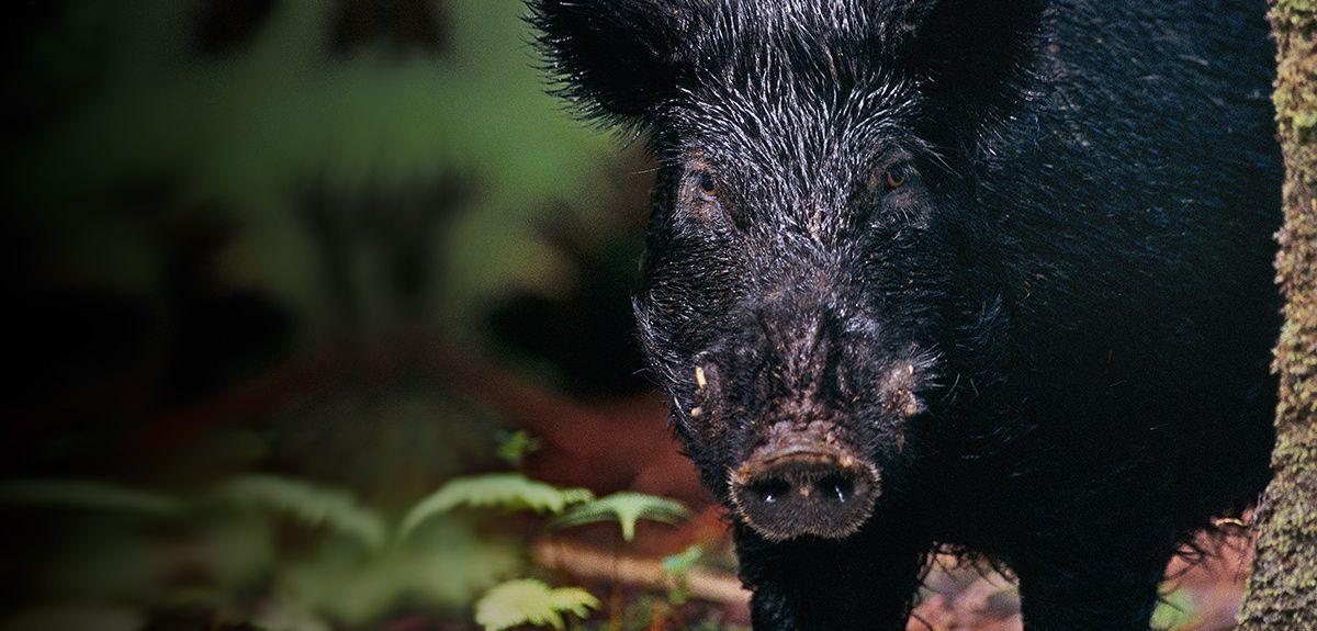 Modern feral Hawaiian pig seems to owe the black coat mainly to its Polynesian ancestors.