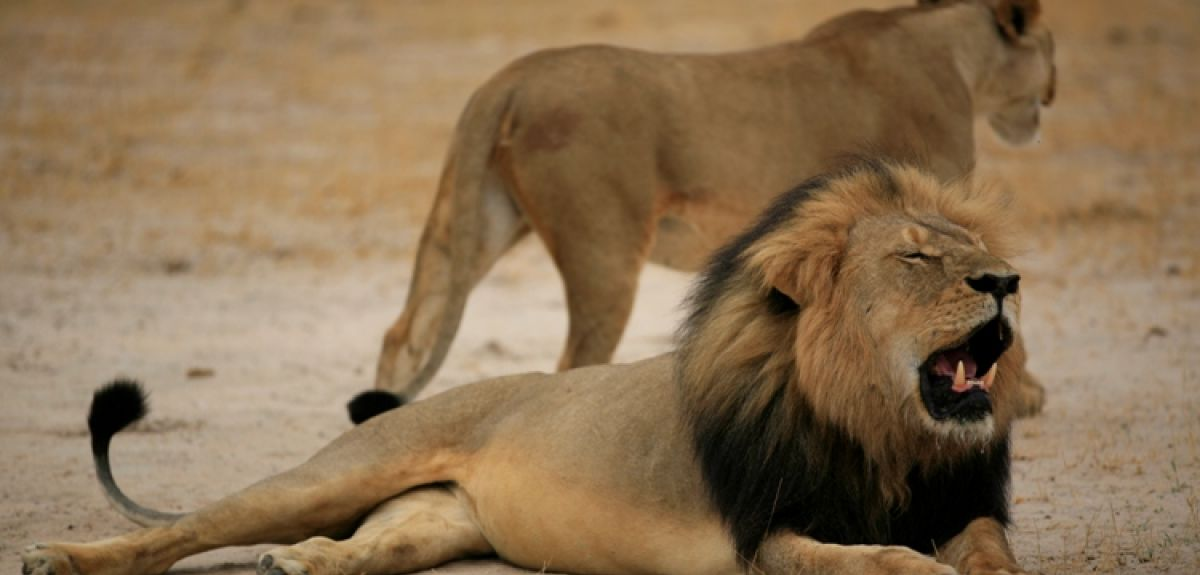 African lions face same extinction threats as extinct Ice Age giants