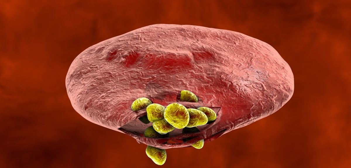 Illustration: Release of malaria parasites from red blood cell