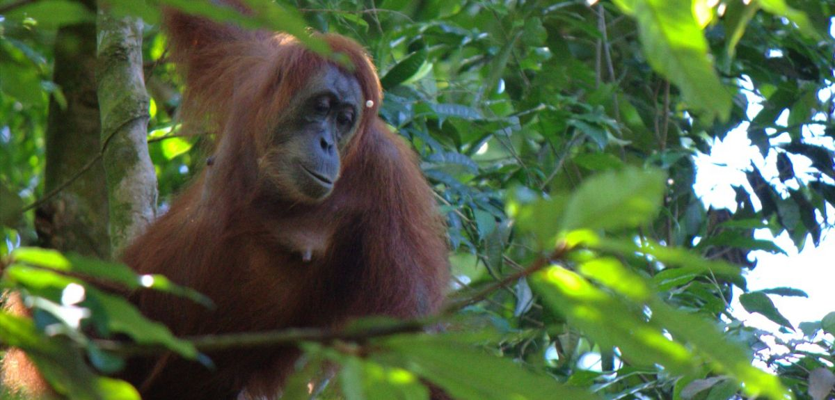Orangutans are iconic, frequently used by advertisers and film-makers as representatives of thoughtfulness and wisdom. But the fate of former captive apes is throwing up a multiplicity of dilemmas
