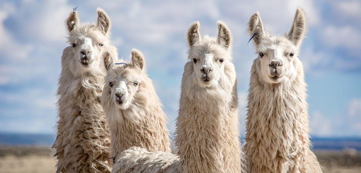 Group og llamas