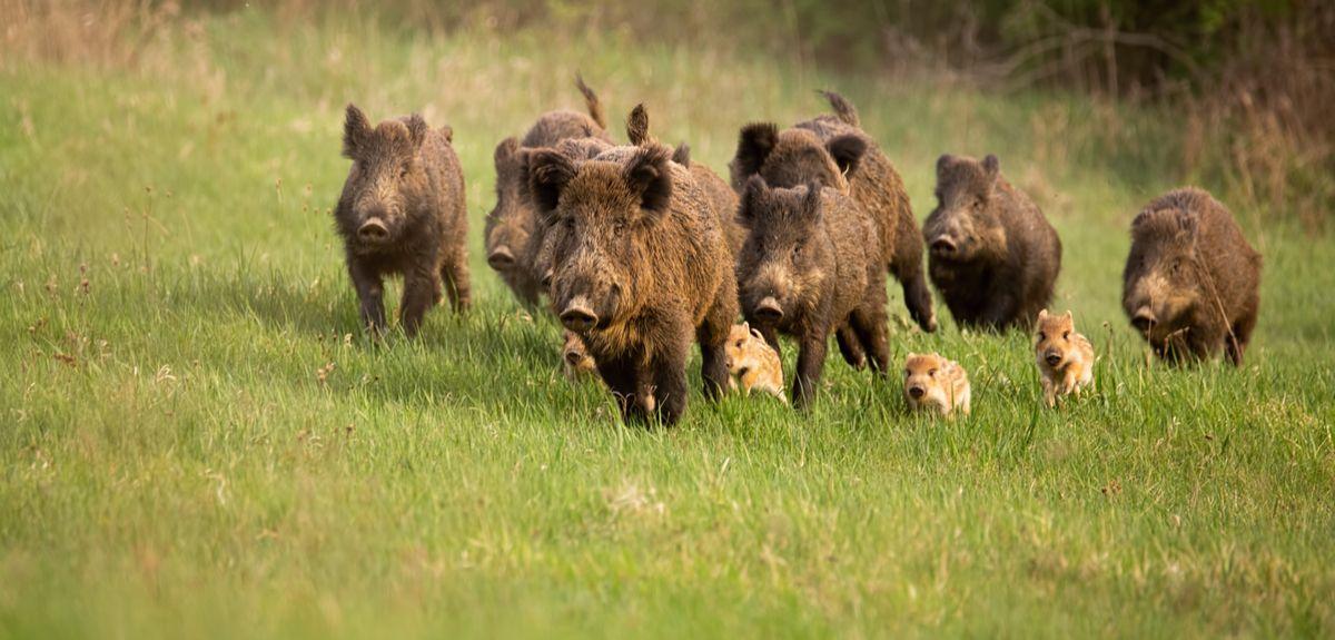 Wild boars running