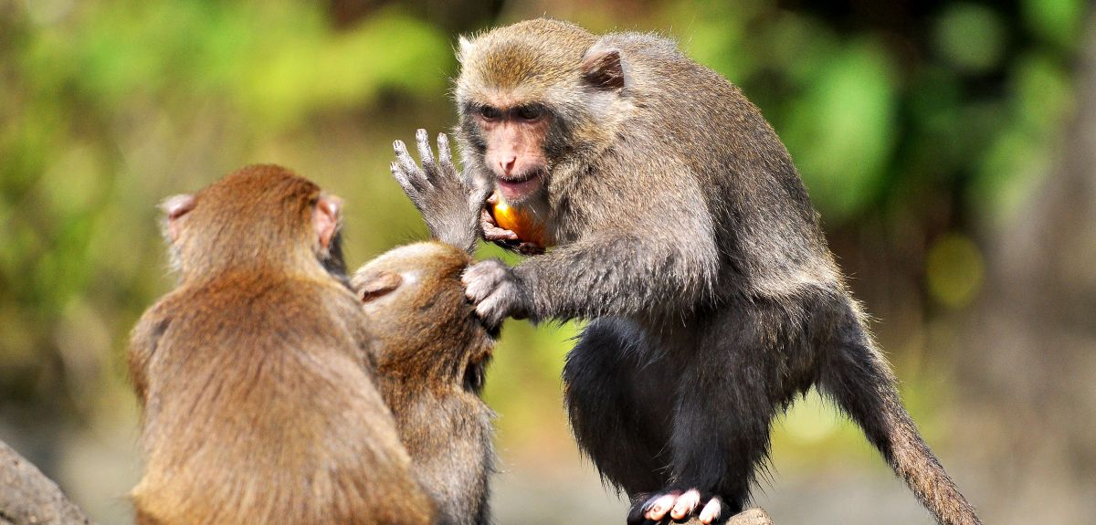 Oxford research has linked differences in primate brains to their dominance in social hierarchies