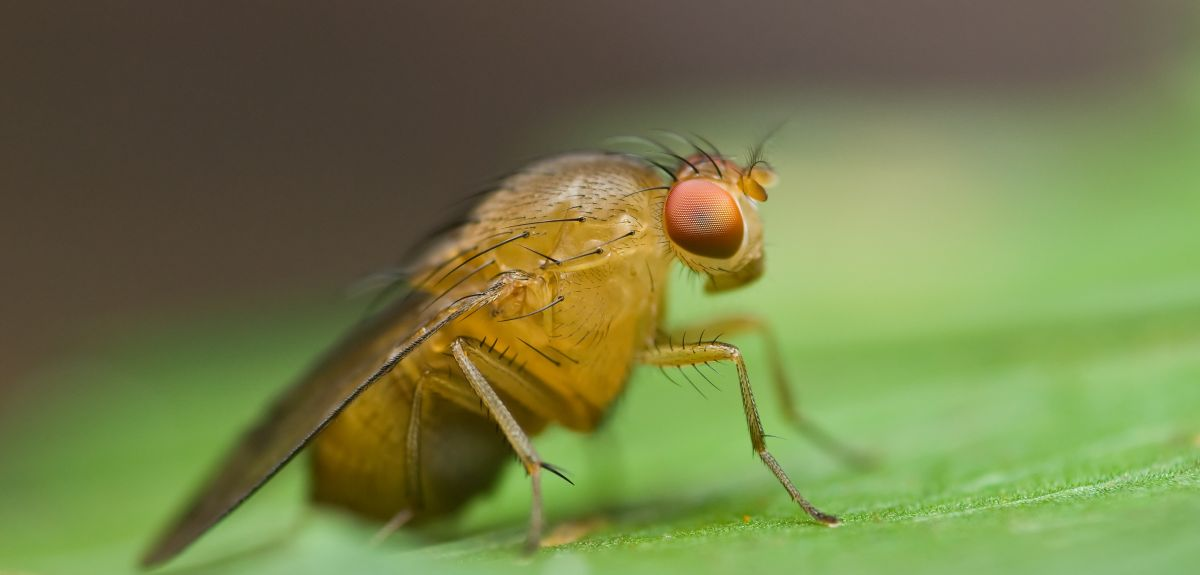 Oxford research show unrelated fruit flies compete more fiercely for mates