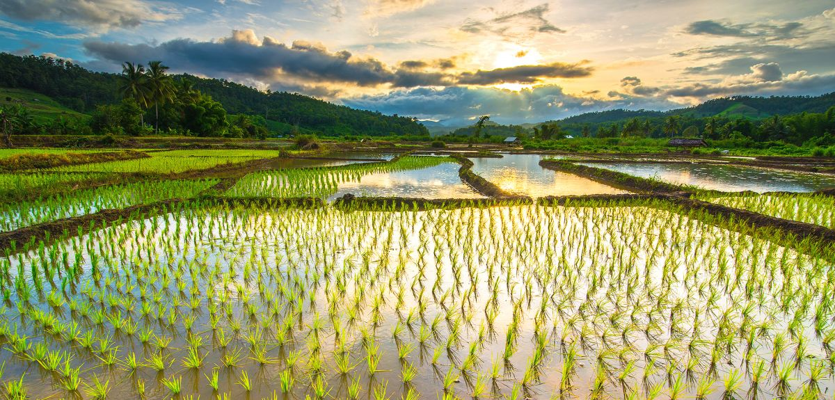 Flooded rice field. Image credit: Shutterstock