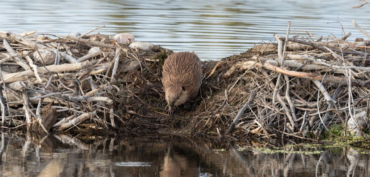 people may work with beavers on the restoration, rather than controlling them. The beavers, who are best placed to deliver sustainable results, are left to make positive changes in the landscape