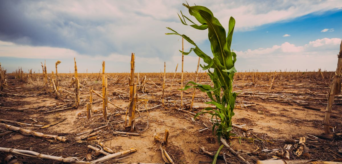 Extreme drought in a cornfield under a hot sun