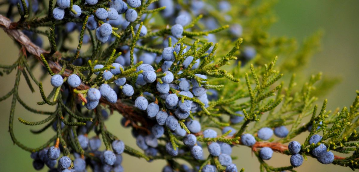 Juniper berries on a branch