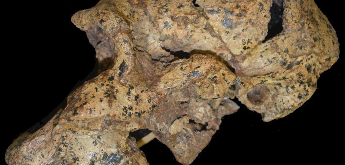Skull of Paranthropus robustus