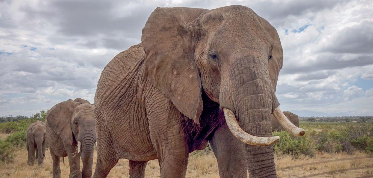 Elephants walking in Kenya