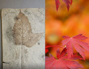 Acer leaf and fossil