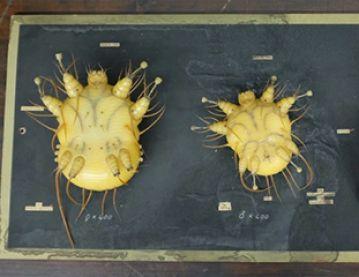 parasite display