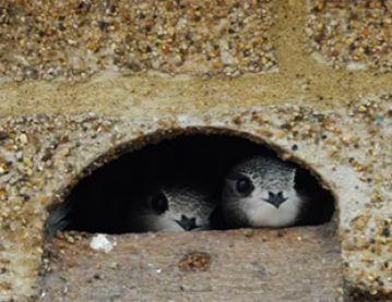 Nesting swifts