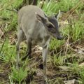 The first ever images of Walter's duiker (Philantomba walteri) alive in the wild