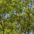 Photo of ash trees in canopy of Wytham Woods, taken from ground level.