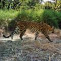 Cambodian leopard