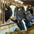 Although animals produce emissions, they are an important part of our agriculture eco-systems and provide important nutrients.'   But we need to reduce the global demand for meat, so countries that currently eat a lot of meat need to cut down. That would