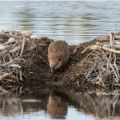 Credit: Shutterstock. People may work with beavers on the restoration, rather than controlling them. The beavers, who are best placed to deliver sustainable results, are left to make positive changes in the landscape.