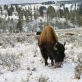 Bison grazing on Arctic tundra